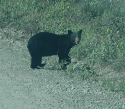 Hyder Fish Creek black bear road