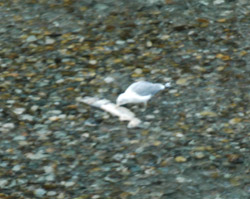 Hyder Fish Creek seagull