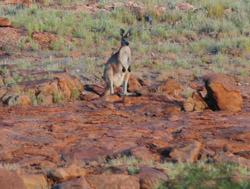 OBT 6a kangaroo