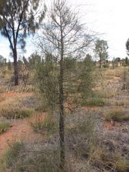 OBT 8 desert oak
