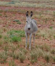 OBT 5a wild burro