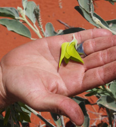 OBT 6 Simpson Desert parrot flower