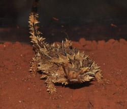 OBT 7 thorny devil at Eridunda