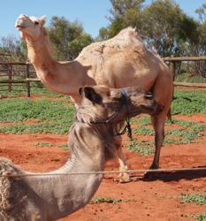 OBT 9 camels
