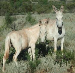 OBT 9 wild burros