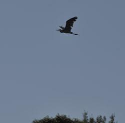ME Kayak great blue heron