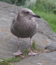 Monhegan scenes gulls