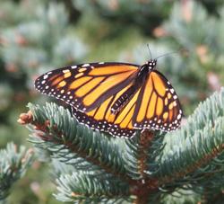 Monhegan sights butterflies