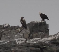 Monhegan sights eagles