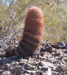 Gold claim barrel cactus