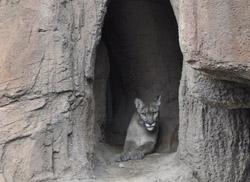 Desert museum cougar