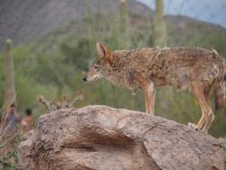 Desert museum coyote