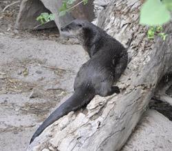 Desert museum otter 2