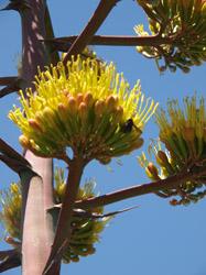 Rim- Century plant bloom