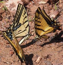 Sedona tiger swallowtails 2