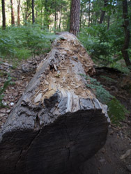 Sedona scenes fallen tree