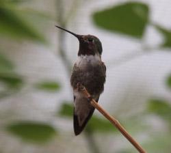 Desert museum hummingbird-2