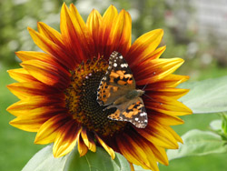Monhegan Is sunflower-butterfly2
