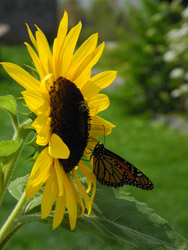 Monhegan Is sunflower-butterfly3
