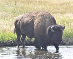 YNP1 -G buffalo