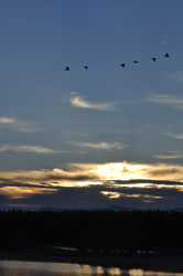 YNP PHOTO-G sunrise geese