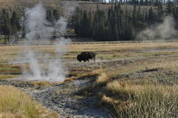 YNP PHOTO-G bison mist