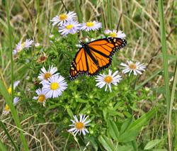 MonheganG2_Monarch daisy