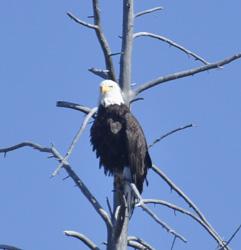 YNP1 -G eagle