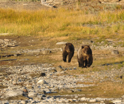 YNP PHOTO-G grizzly