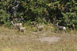 YNP PHOTO-G deer