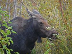GTNP moose head