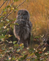 GTNP Great Grey Owl