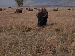 GTNP bison herd