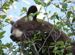 GTNP-GH bear