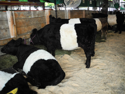 Union Fair_belted Galloways