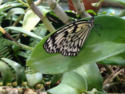 Cactus  butterfly TBG