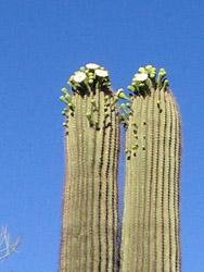 TBG saguaro