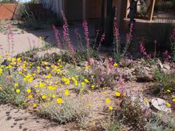 Cactus - flowers Tohono oChul 14
