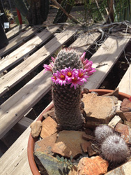 Cactus- blooming