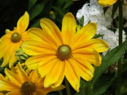 Olana HS daisy