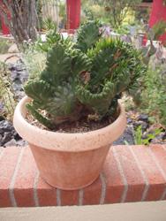 Cactus grested dholla TBG