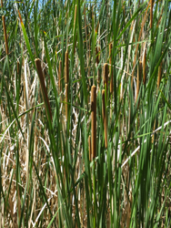 Dead Horse State Park_cattails